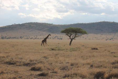 Eenzame giraffe op de Serengeti