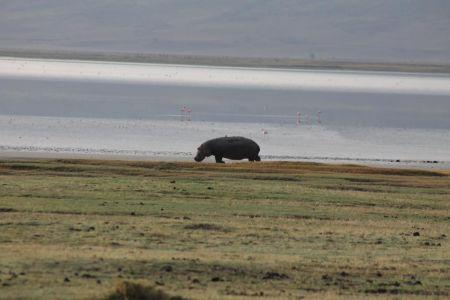 Nijlpaard voor Lake Magadi
