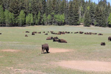 Een veld vol bizons