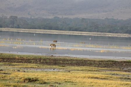 Hyena's in Lake Magadi