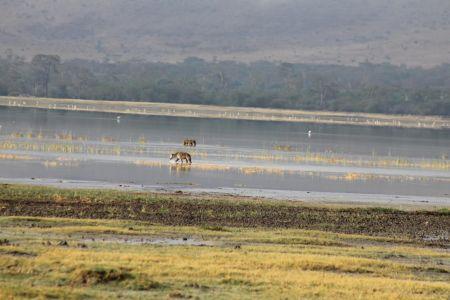 Hyena's in Lake Magadi
