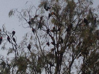 Bomen vol met papegaaien
