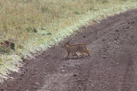 2 jonge caracal katten steken de weg over