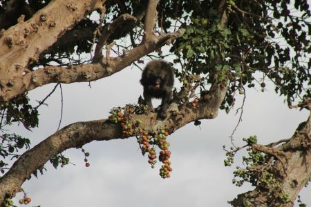 Bavianen eten vruchten in de boom