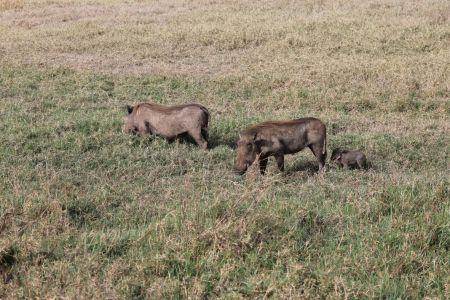 Familie wrattenzwijn