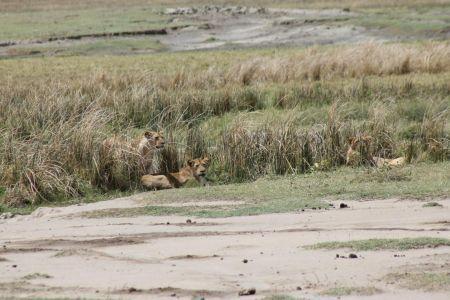 Leeuwen liggen op de loer