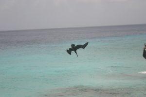 Duikende pelikaan