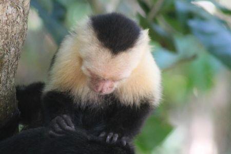 Vlooiende kapucijnaapjes