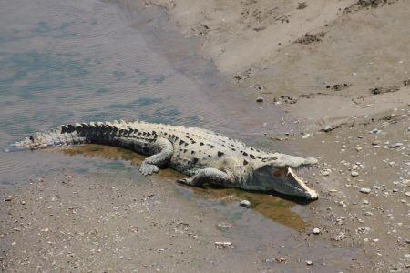 Krokodillen koelen zichzelf af door hun bek te openen