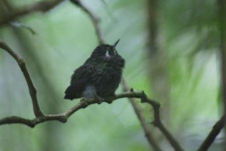 Baby kolibire