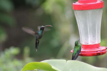 Een Green Hermit en een green-crowned brilliant