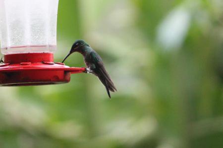 Kolibries halen suikerwater uit een voederbak