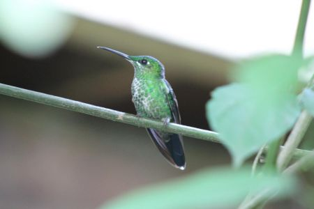 Green- Crowned Brilliant
