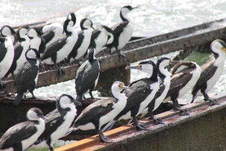 'Langnek Pinguin'