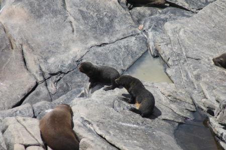 Nieuw-Zeelandse zeeberen
