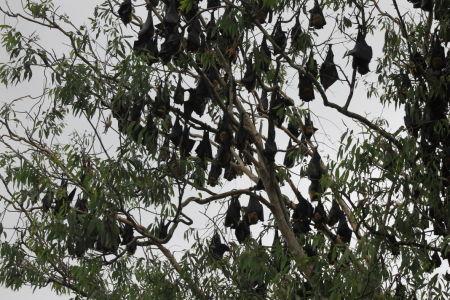 Boom vol met Flying Foxes (vleermuizen)