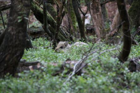 Kleine zwijntjes zitten verstopt in het hoge gras