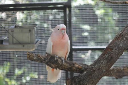 Major Mitchell Pink Cockatoo
