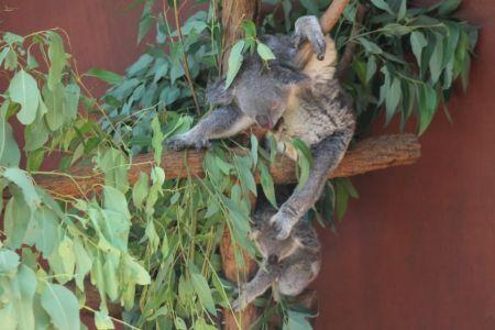 De koala's hebben genoeg eucalyptusbomen