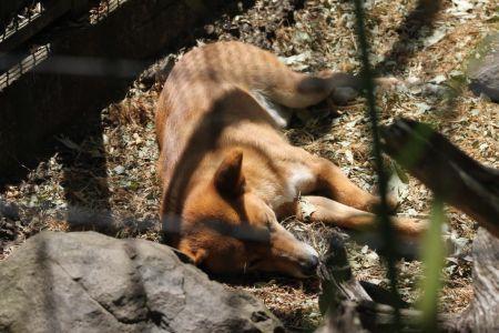 Ook de dingo ligt af en toe te luieren