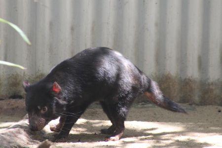 De Tasmaanse duivel