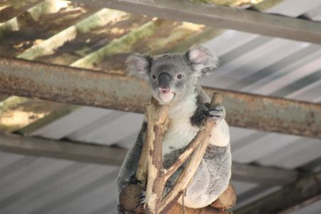 Deze koala overziet alles