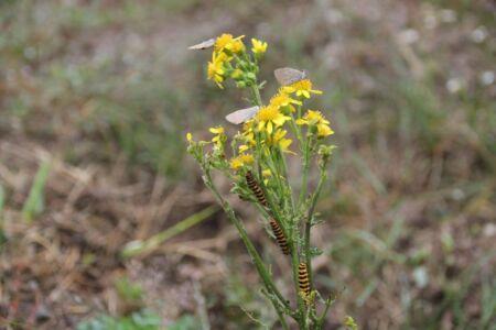 Rupsen en vlinders drogen samen op de bloemetjes
