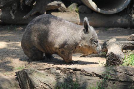 Een wombat