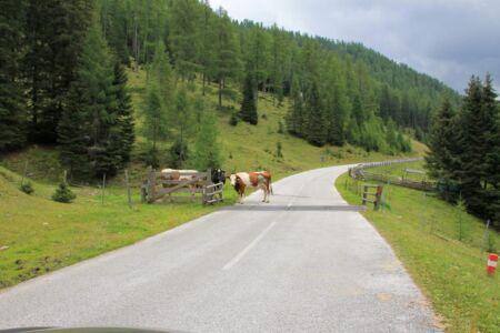Geregeld sperren koeien de weg