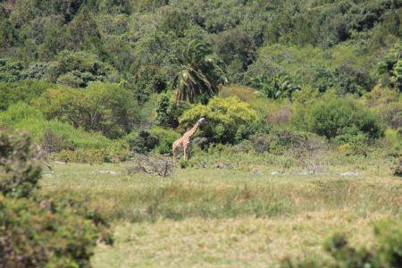 Wandelen tussen de giraffes