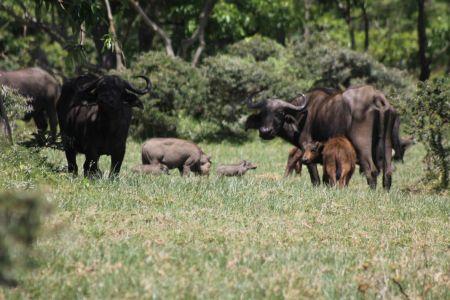 Buffels en wrattenzwijnen