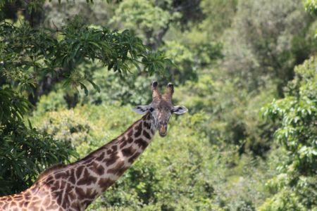 Een mannetje giraffe