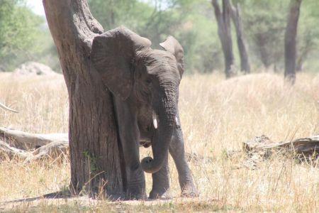 Olifanten schuren langs bomen tegen de muggen