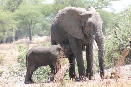 Baby olifanten drinken melk bij hun moeder