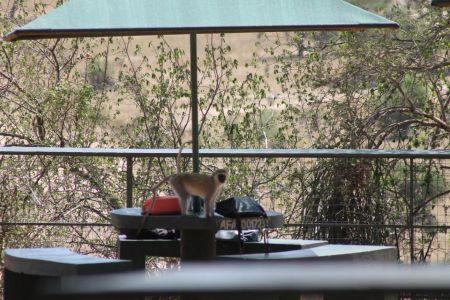 Bavianen zoeken overal naar eten