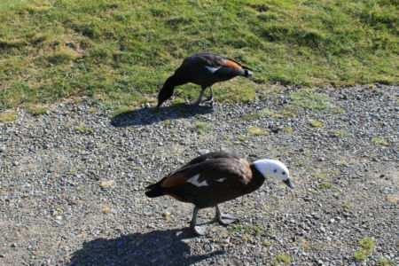 Paradise Duck in Mount Cook NP