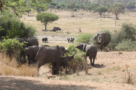 Een grote kudde olifanten