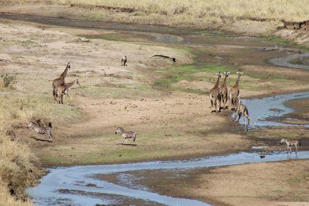 Giraffes, zebra's en gnoe's