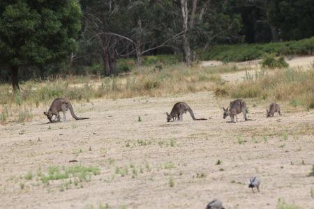 Kangoeroes in het wild
