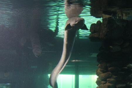 Long-finned Eels