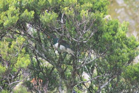 Nieuw-Zeelandse duif