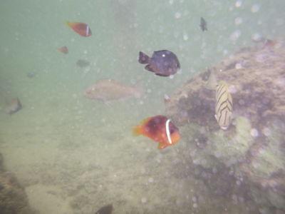 Fiji clownfish