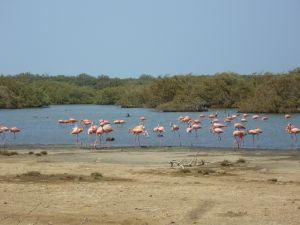 Caribische Flamingo's