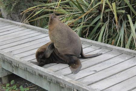 Zeeleeuw bij Point Kean